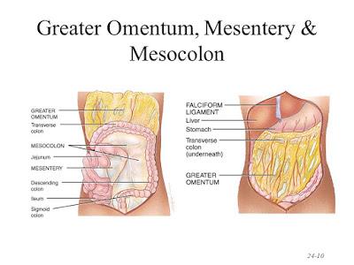 Apa itu Organ Mesentery?, Penjelasan Organ Mesentry Manusia, Fungsi dari Organ Mesentry Manusia, Letak Mesentry di Tubuh manusia.