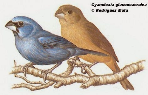 Glaucous blue Grosbeak