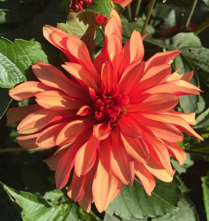 flor de dalia naranja