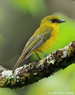 Download mp3 suara burung kancilan kalimantan