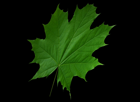 creating leaf with opacity