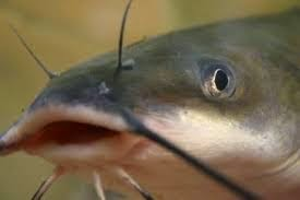 Handling Catfish in Pond Business