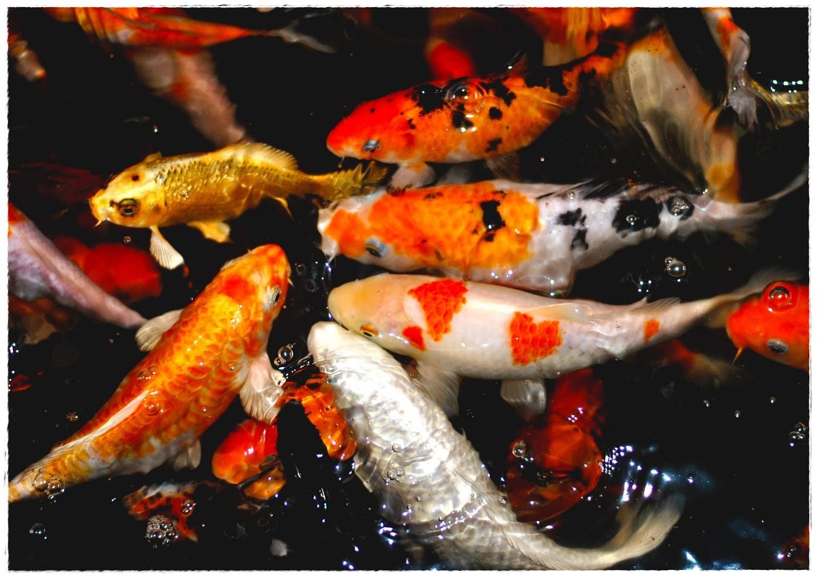 Ikan Koi Paling Mahal