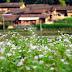 Hà Giang bước vào Lễ hội hoa Tam giác mạch 2016