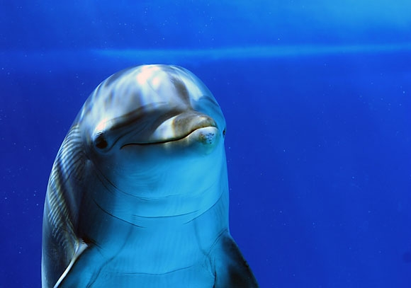 بالصور والفيديو :- معلومات عن الدلافين dolphin__s_smile_by_