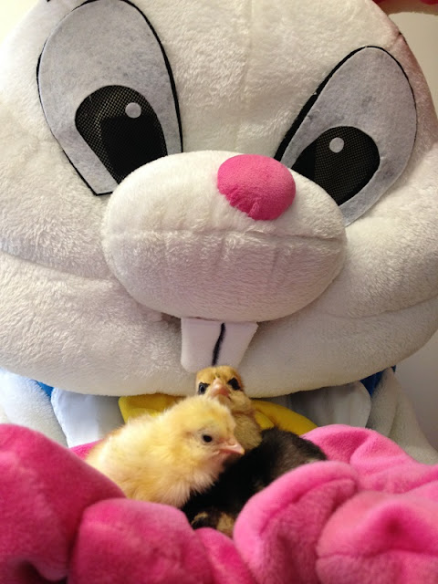 A large furry easter bunny holding real chicks