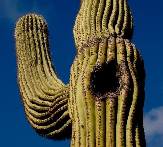 Saguaro and other towering cacti have a scrambled history