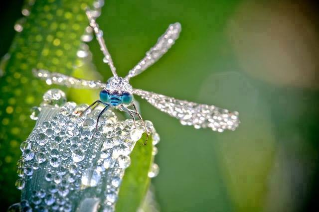 Macro Photographs of Dew-Covered Dragonflies and Other Insects