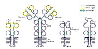Sel B sel T MHC-1 MHC-2