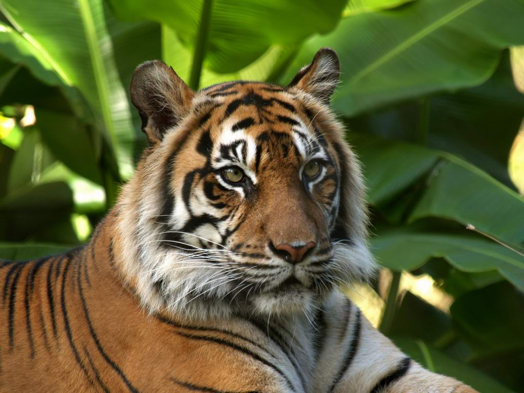 Animal Free Wallpapers: Animal Tiger Free Wallpapers