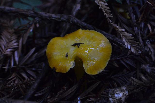 bright yellow mushroom