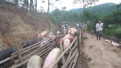 Lợn xuất bán qua biên, lo rớt giá hằng ngày. Ảnh: DC