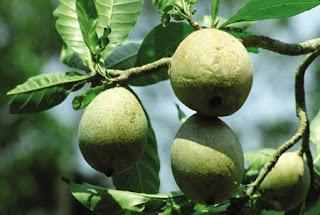 Fruto do jenipapo