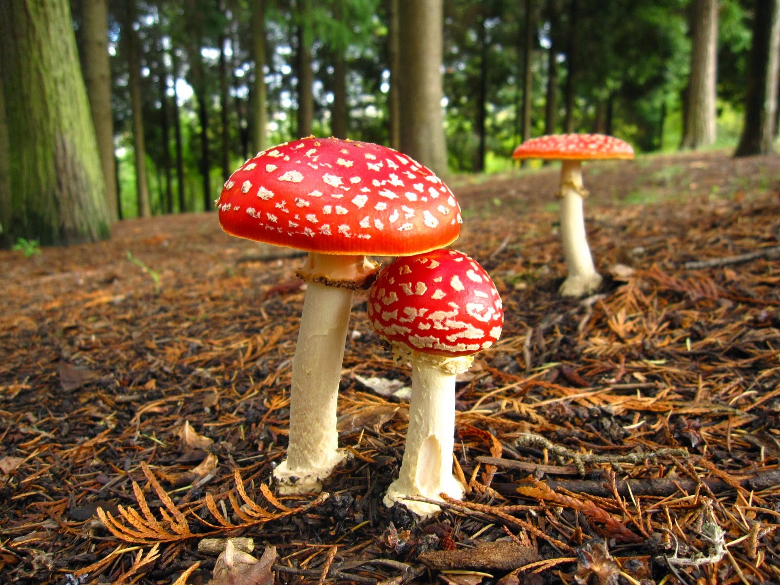 amanita muscaria wild red mushroom photography free wallpaper