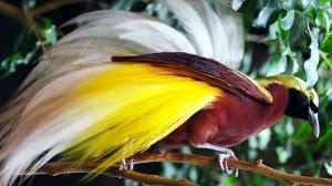 510 Gambar Hewan Langka Burung Cendrawasih Gratis Terbaru