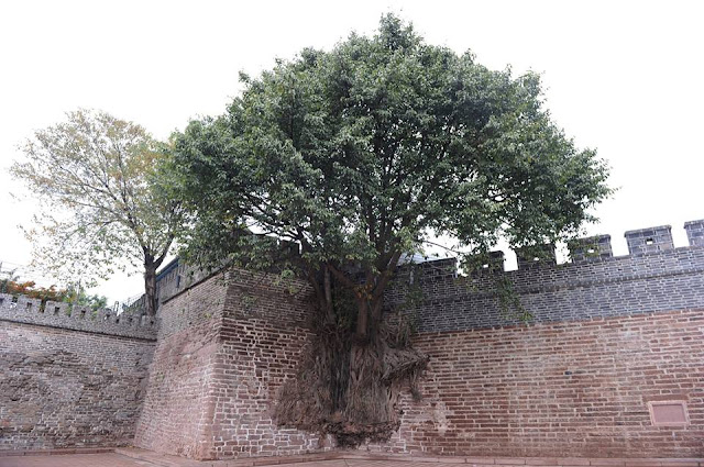 Is this tree really growing out of a wall?