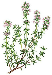 It has small green leaves and tiny pink to purple flowers. Flowers and leaves are medicinal part of thyme, which is used in the natural treatment.