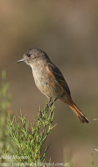 """alt=""""viudita comun,Knipolegus aterrimus hembra,aves de Mendoza"""""""