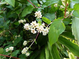Persicaria chinensis - Polygonum chinense - Renouée de Chine - Persicaire de Chine
