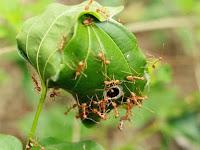 9 Cara Ampuh Membasmi Hama Semut dengan Bahan Alami