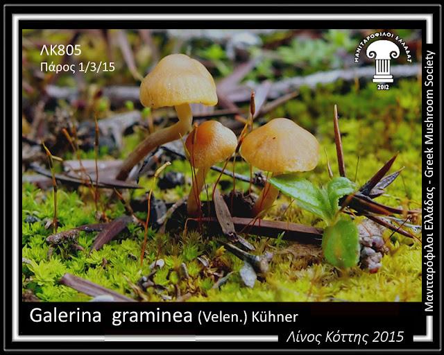 Galerina  graminea (Velen.) Kühner