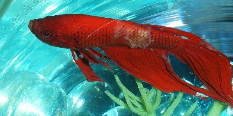Gambar Ciri Ciri Ikan Hias sakit Atau Stres-Cupang Luka