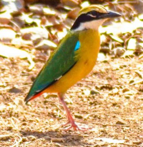 P. megarhyncha
