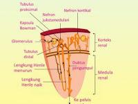 Jelaskan Proses Pembentukan Urine di Ginjal