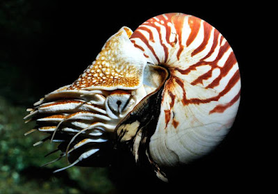 Animals That Start With N - Nautilus