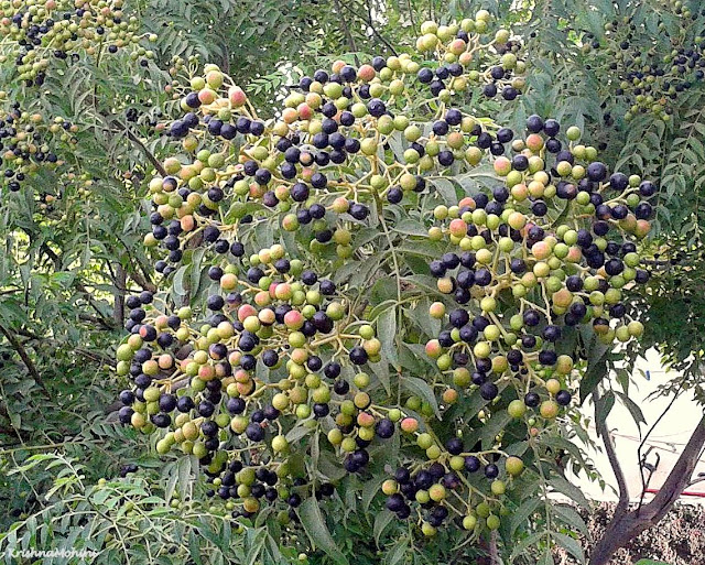 Image: Tantalizing curry tree fruits