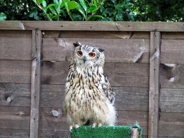 Eagle Owl at Mount Falcon estate in County Mayo, Ireland