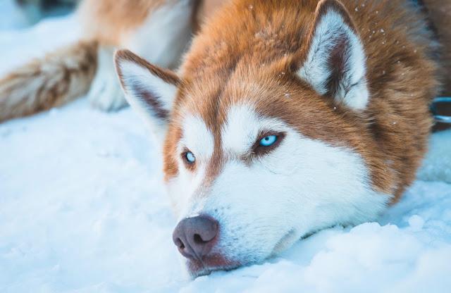 Mengenal Keunikan Anjing Husky Yang Menawan