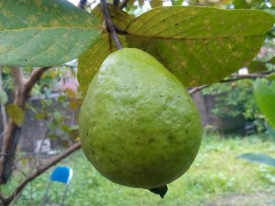 Pohon jambu berbuah lebat dengan pupuk