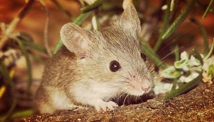 Plagas de raton