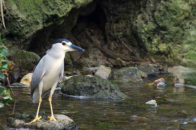 bird, image, Night Heron, after