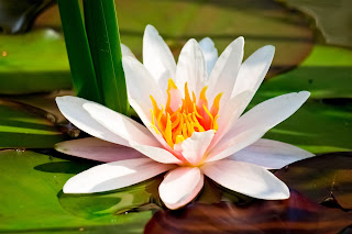 Lotus Flower HD wallpapers