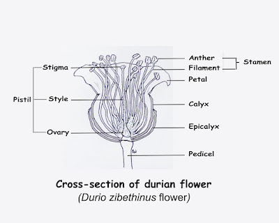 Durian info botany of the common durian cross section durio zibethinus flower ccuart Gallery