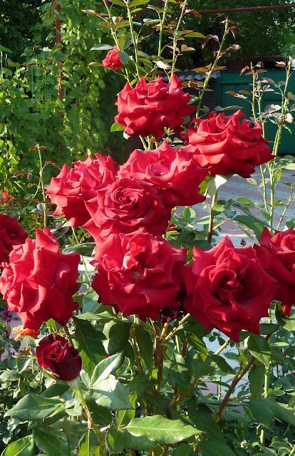 розы из моего сада