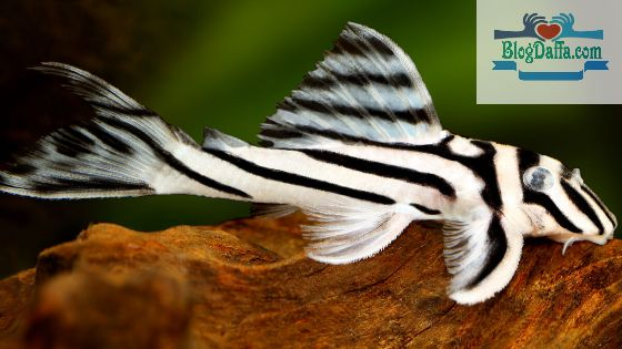 Jenis ikan sapu-sapu Hypancistrus Zebra