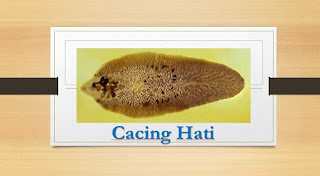 Ciri-ciri Filum Platyhelminthes atau Cacing Pipih, Klasifikasi, dan Perannya dalam Kehidupan