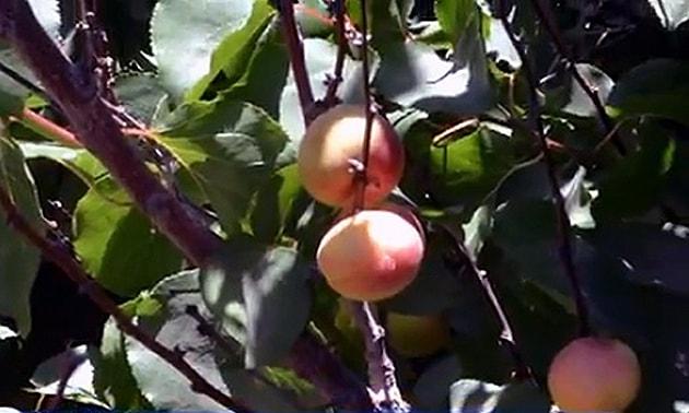 Damasco (Prunus Armeniaca L.)