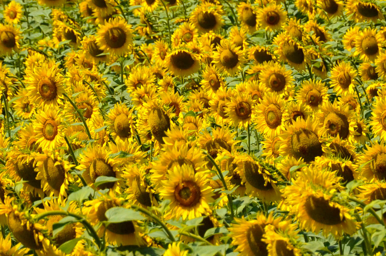 Sunflowers, Varna, Bulgaria