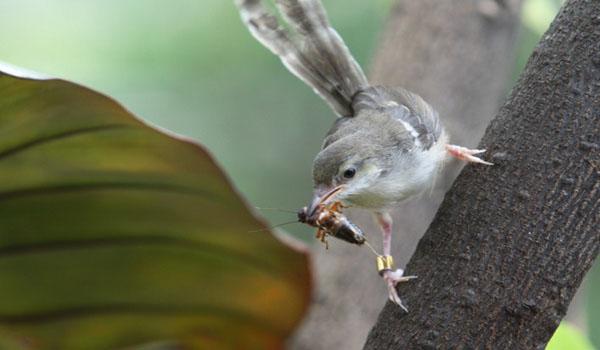 Suara Burung Ciblek