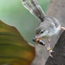 Download Suara Kicau Burung Ciblek Gacor Dan Ngebren Cocok Untuk Pikat