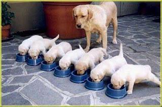 Siete perros comiendo su comida en platos, y la mamá perra supervisando a los cachorros