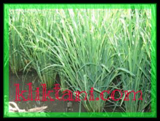 padi bunting