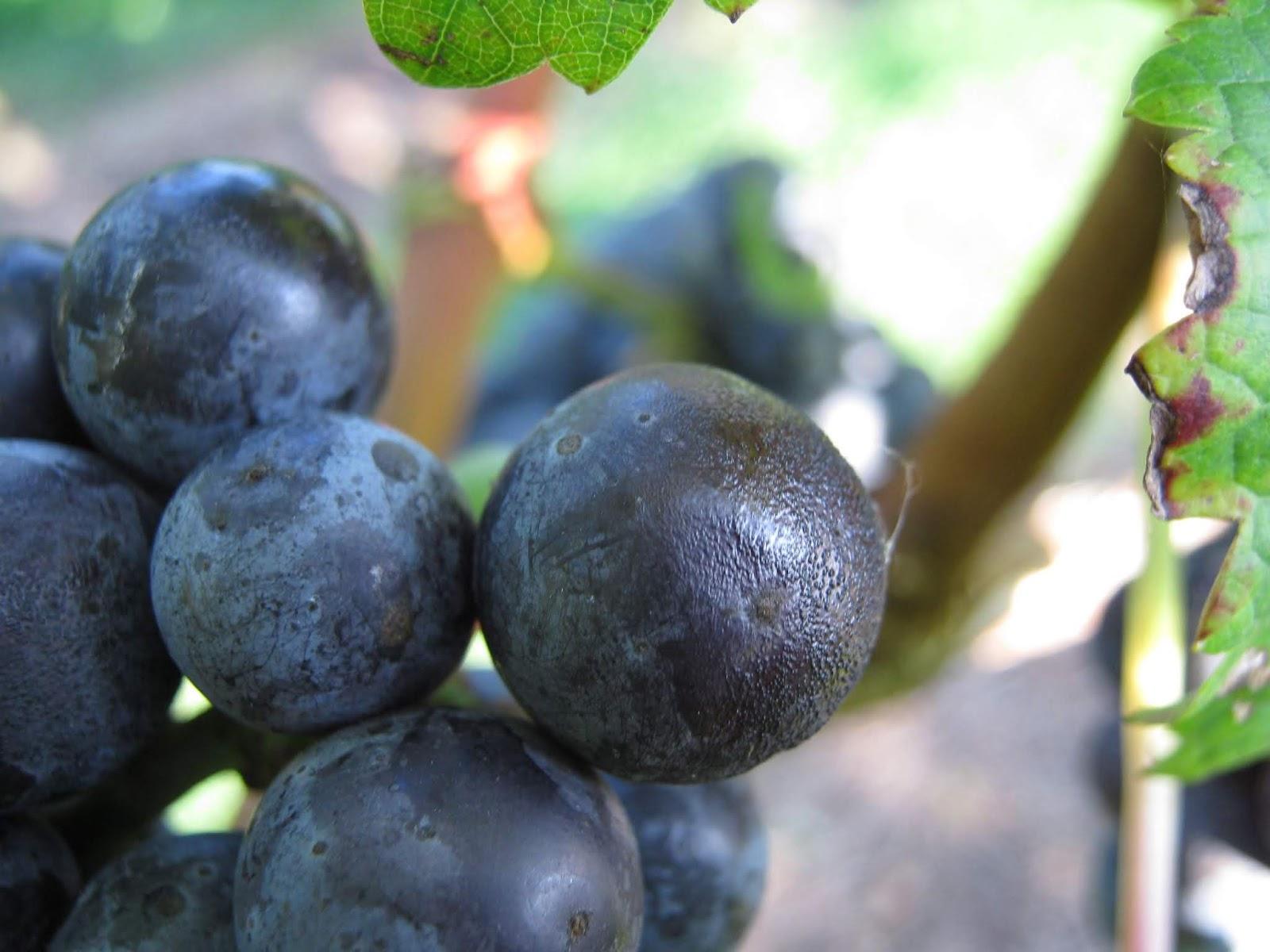 Virginia Grape Disease Updates: 2019
