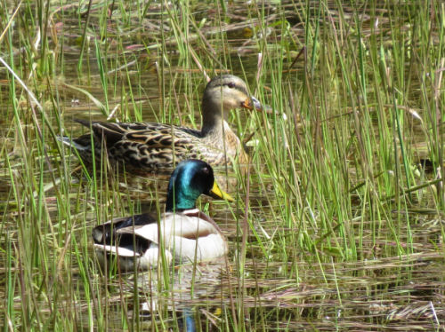 pair of mallard ducks in small pond