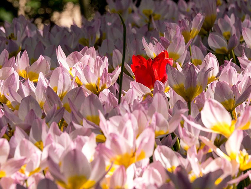 Tulpenblüte in Keukenhof