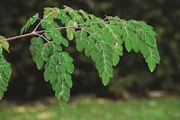 dan termasuk dalam keluarga Euphorbiaceae Manfaat Daun Kelor dan Kandungan Nutrisi Menakjubkan